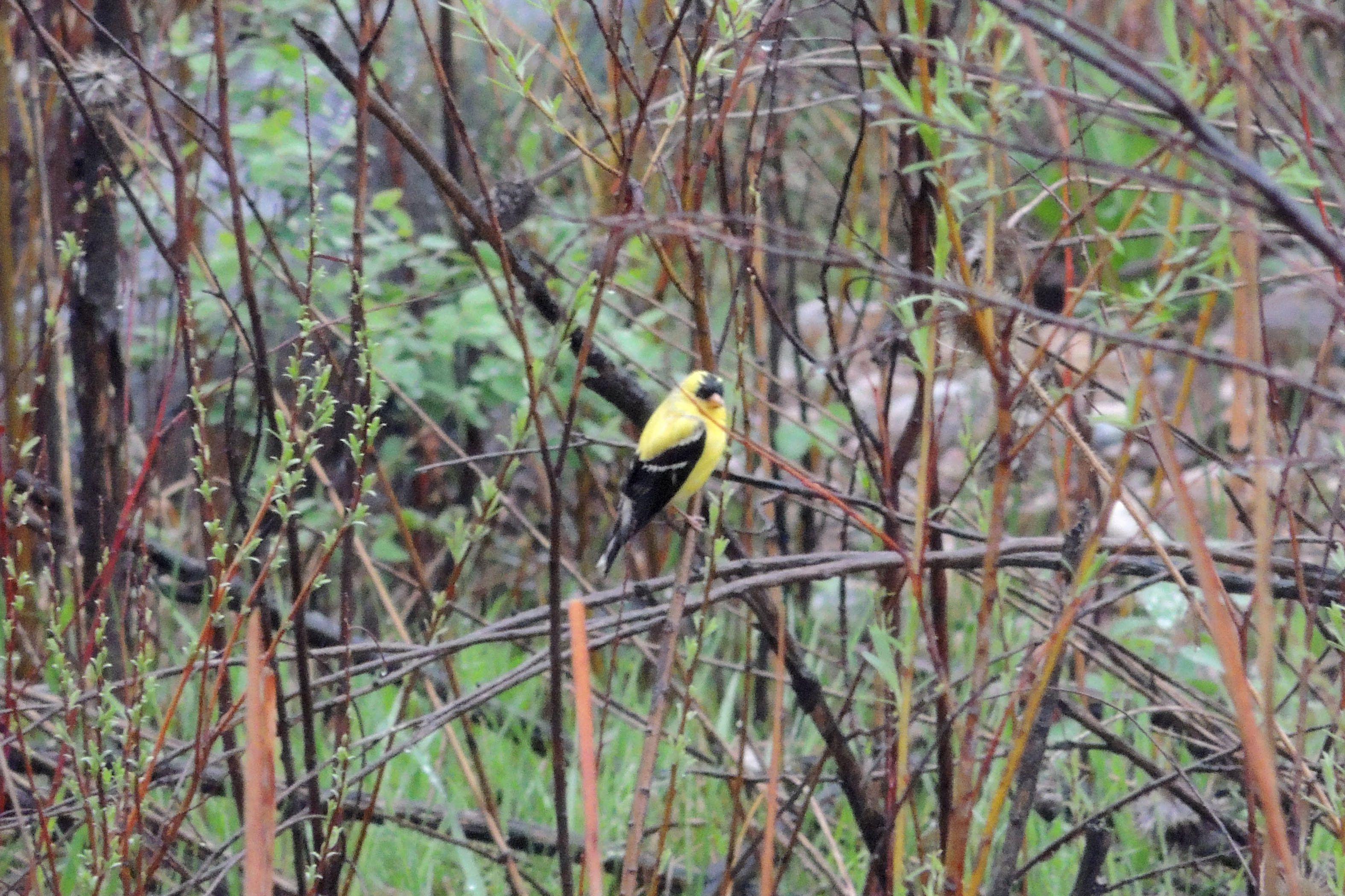 American Goldfinch ©Steve Frye. Wild Bird Company - Boulder, CO. Saturday Morning Bird Walk in Boulder County - May 9, 2015.
