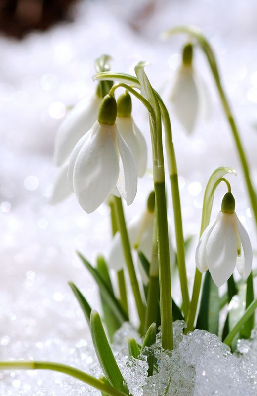 Out With The Snow In With The Snowdrops Met Afbeeldingen Bloemen Mooie Bloemen Planten