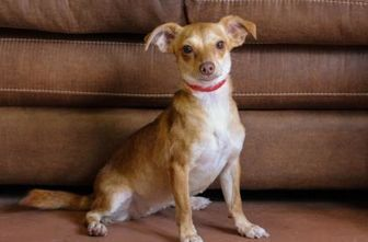 Pictures of Sandy a Chihuahua Mix for adoption in Colorado