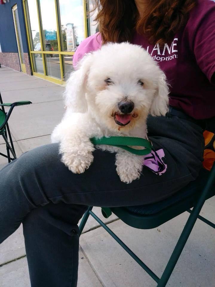 Adopt Memo On Poodle Mix Dogs Bichon Frise Adoption