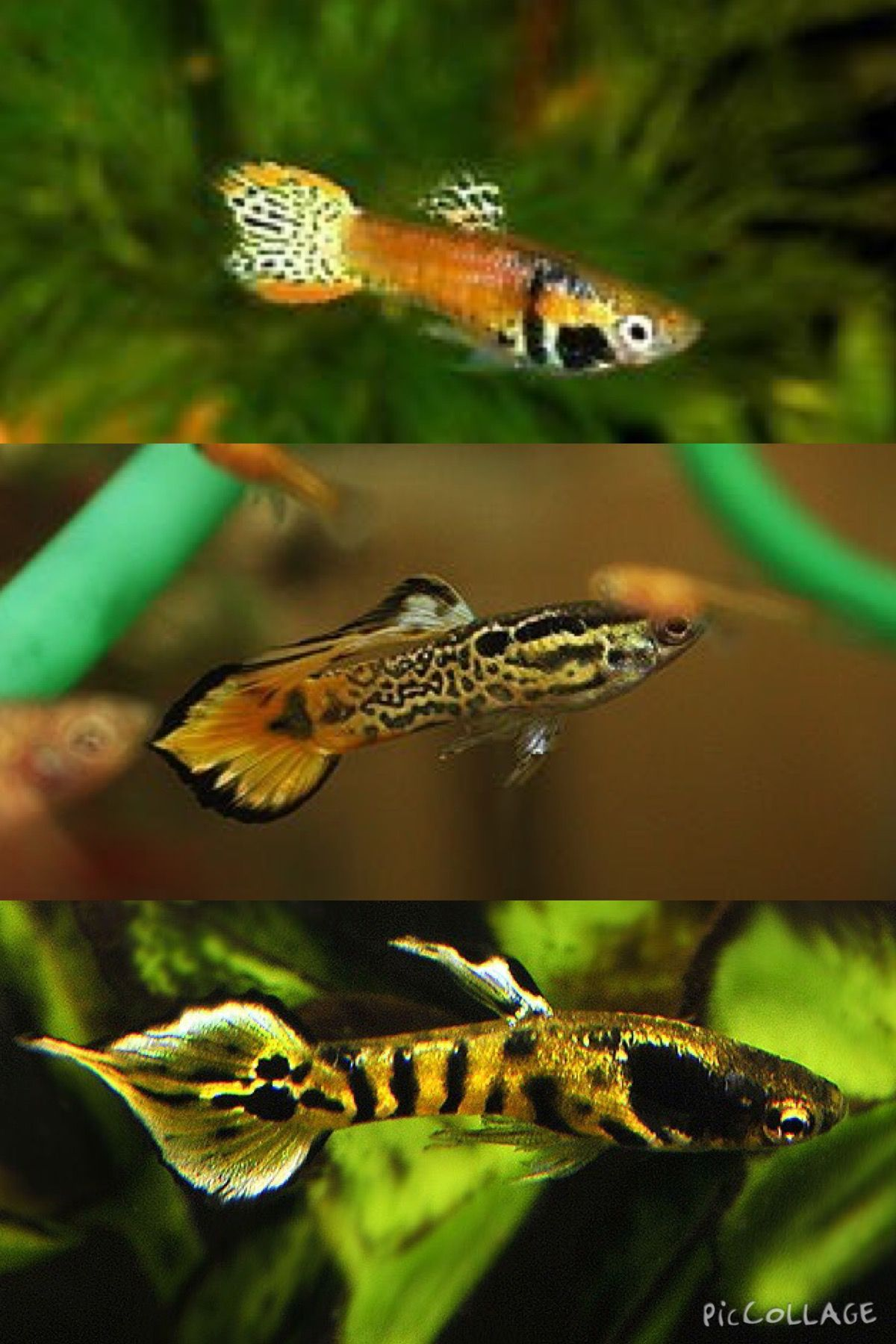 Freshwater aquarium fish exotic - Fish