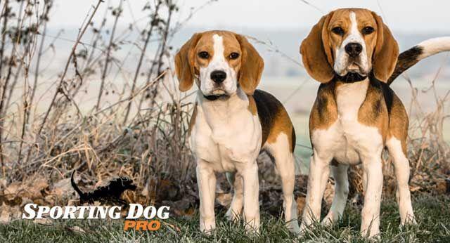 Pin On Hunting Dog Training Tips