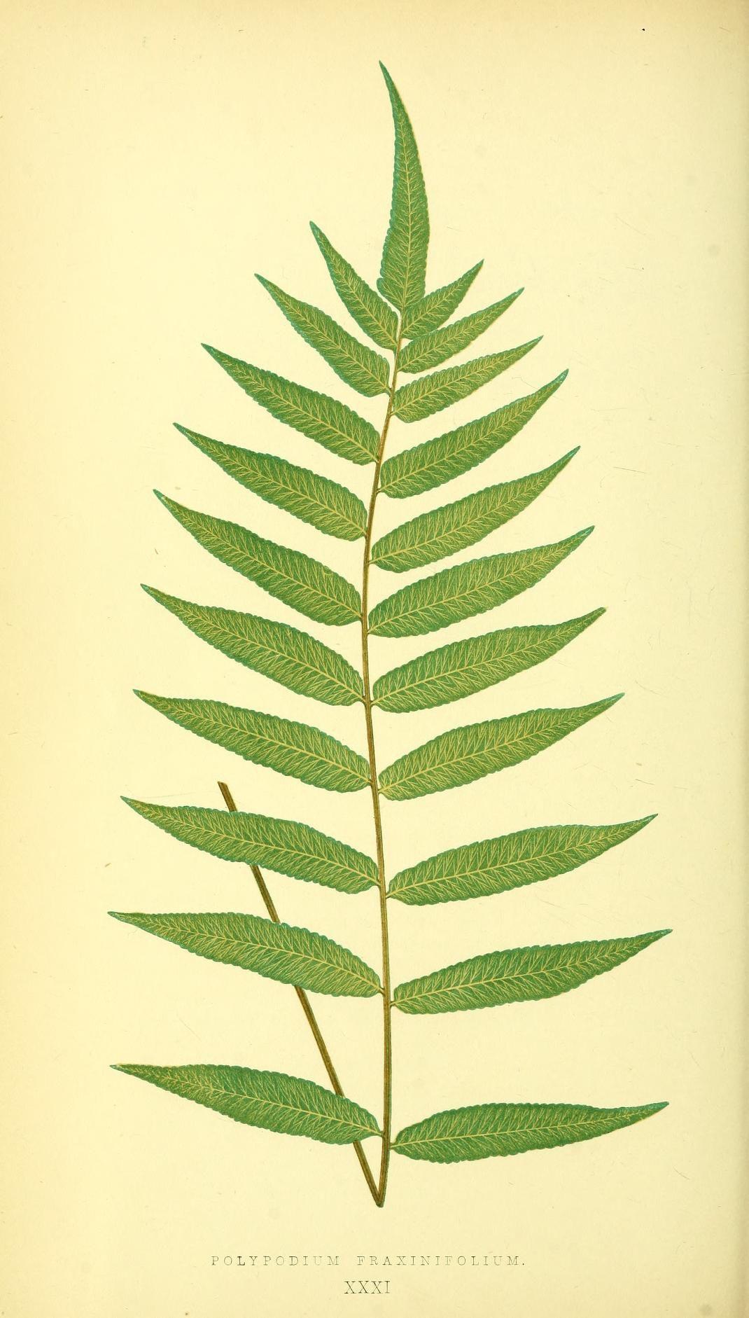 v. 1 - Ferns: British and exotic... - Biodiversity Heritage Library ...
