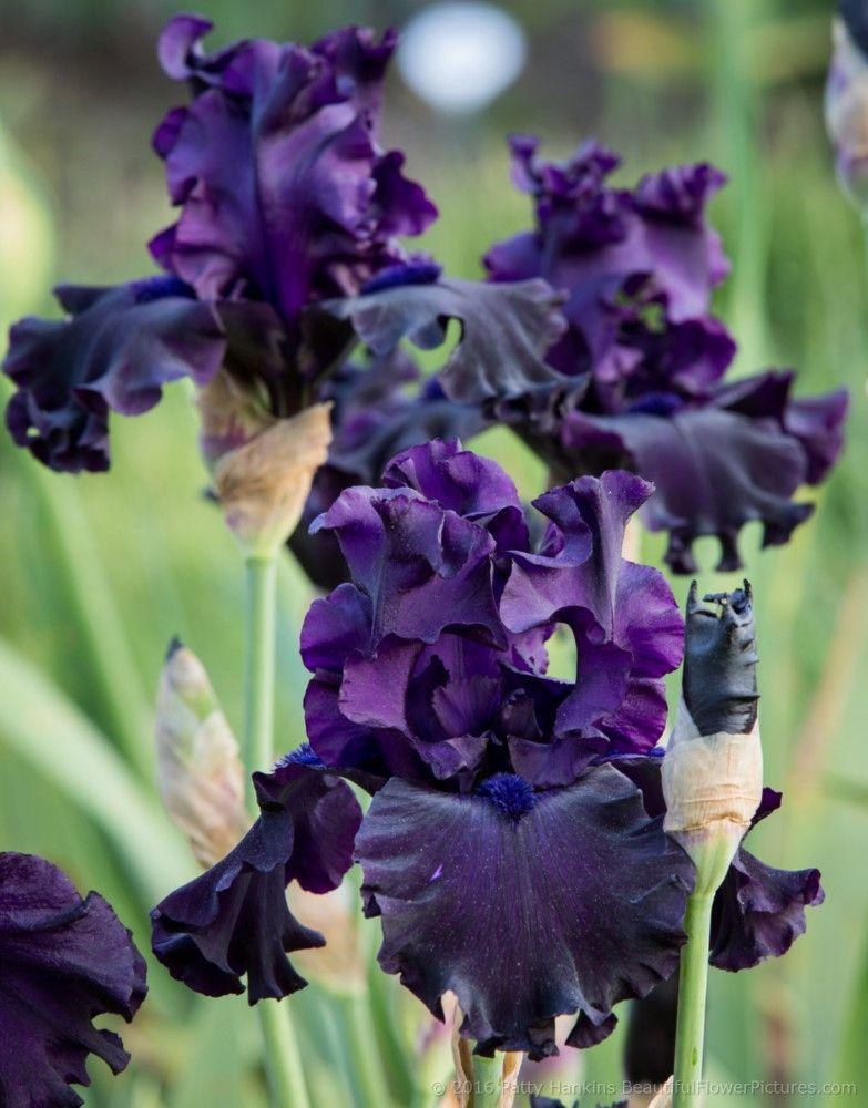 Shades Of Pink Purple Irises Iris Flowers Iris Garden Flowers Photography Wallpaper