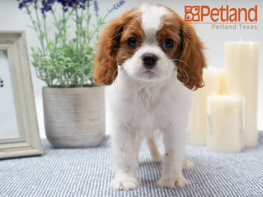 Petland Texas Has Cavalier King Charles Spaniel Puppies For Sale