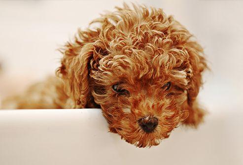Slideshow Long Living Dog Breeds Poodle Miniture Poodle Toy Poodle