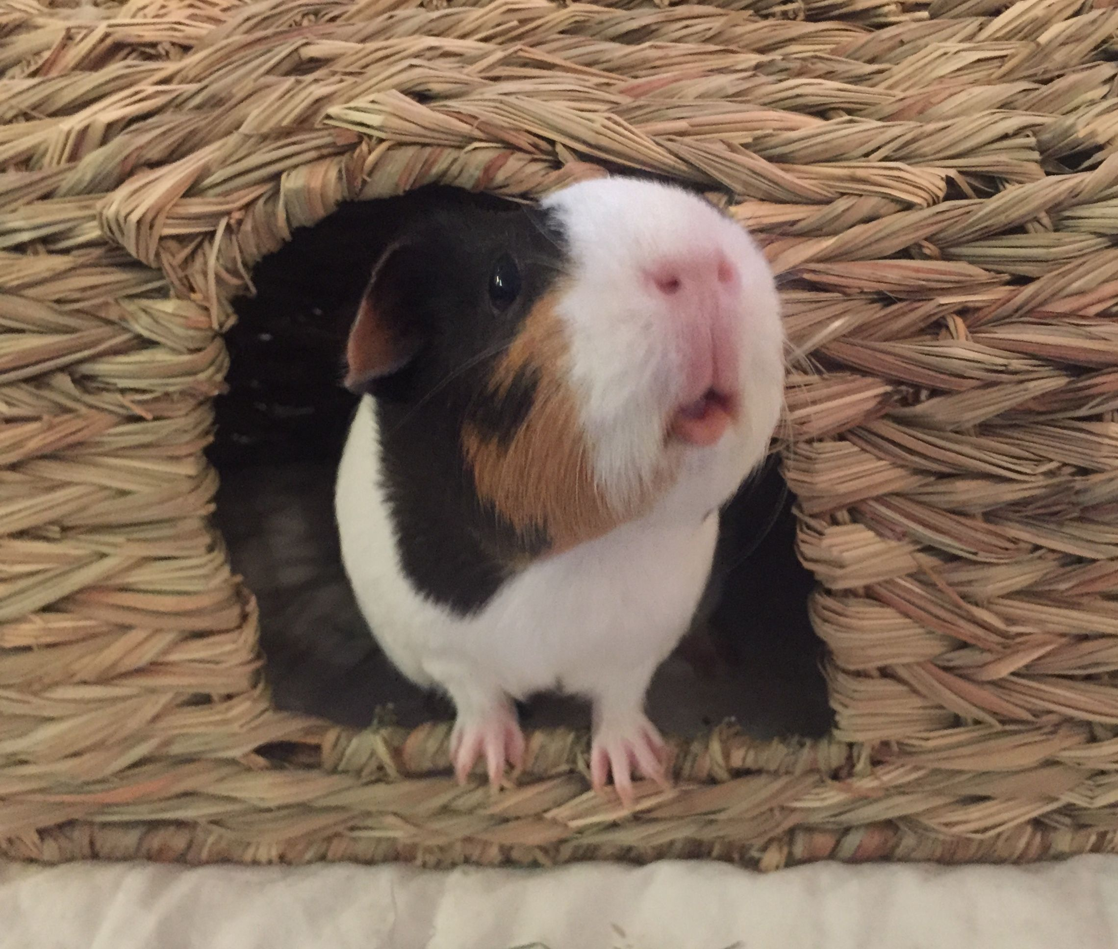 Pin On Pet Guinea Pigs
