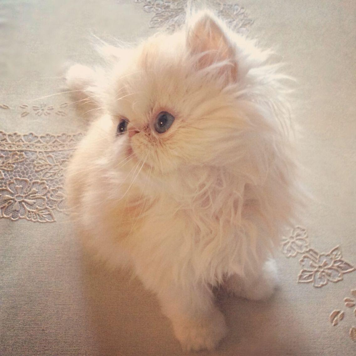 Oliver Is 8 Weeks Persiankittens Kittens Cute Cats Pets Persiancats Persian Kittens Persian Cat Kittens