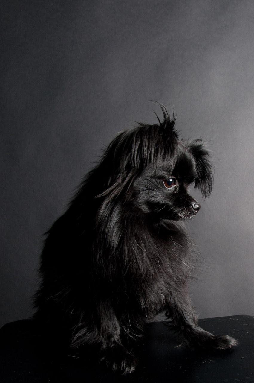 Handsomedogs Black Pomeranian Black Dog Pomeranian Chihuahua Mix