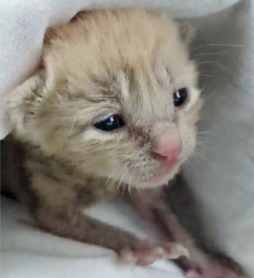 A Tiny Kitten Was Found On A Rainy Day Crying For His Mom A Worker Heard His Meows And Rushed To Help Car Kitten Rescue Kitten Meowing Animal Rescue League