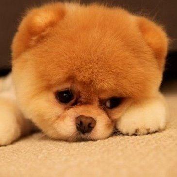 animal mignon petit chien - photo #37