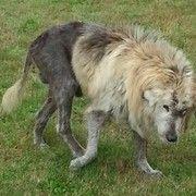 Foto - Hond zoekt voor overleden eigenaar werd neergeschoten na dierenmishandeling bezorgdheid ontstond - Seattle Huisdieren | Examiner.com