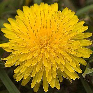 Health And Healing Benefits Of Dandelion Root Dandelion Benefits Dandelion Root Tea Dandelion Root