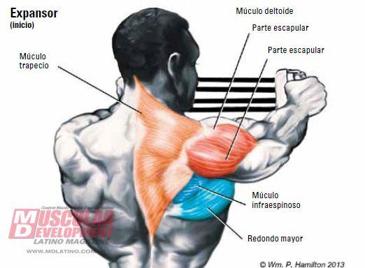 Resultado de imagen para musculos de la espalda redondos   musculos ...