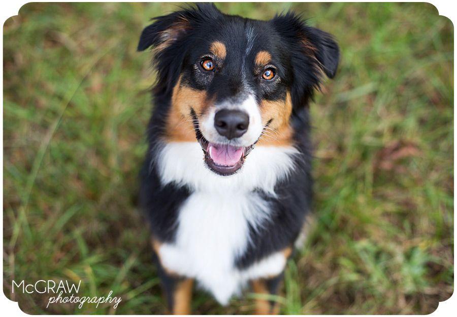 North Carolina Pet Photographer. Australian Shepard. Pet
