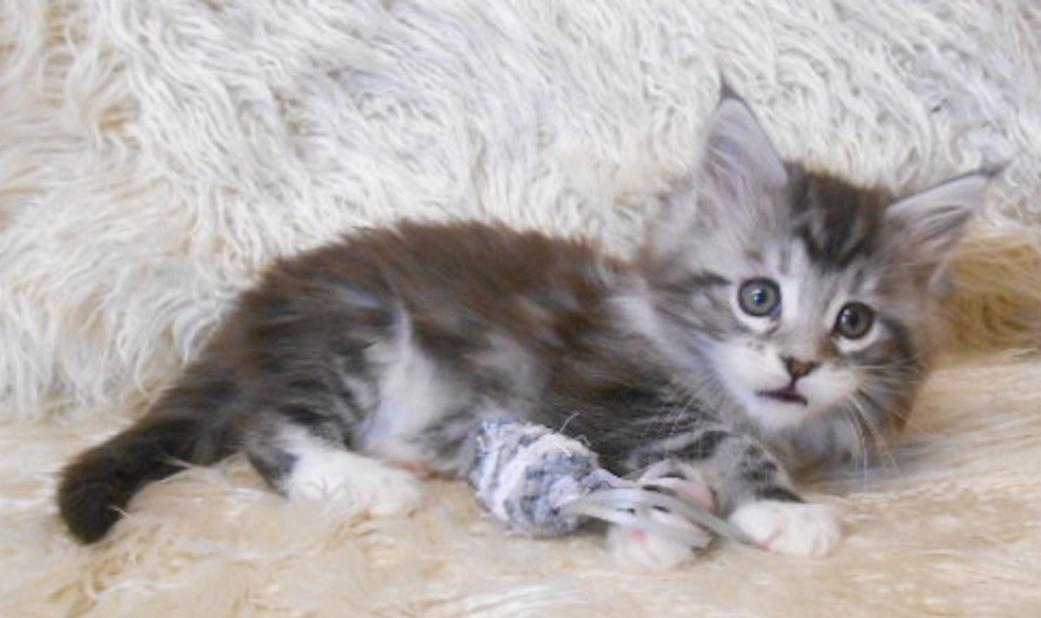 Pin Auf Silver Blue Mainecoon