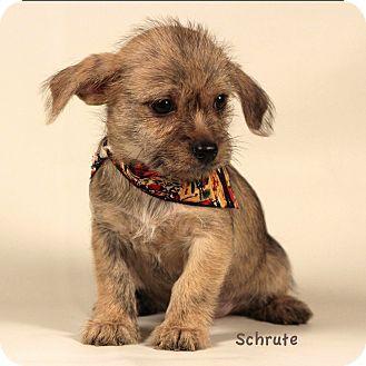 Kerrville Tx Cairn Terrier Chihuahua Mix Meet Schrute A Puppy