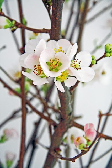 Flowering Quince ... oh, sweet sign of Spring.