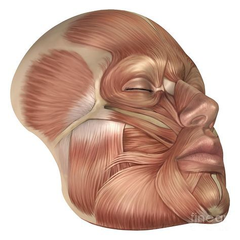 Human Muscle Anatomy Face Anatomy of human face muscles | Male ...