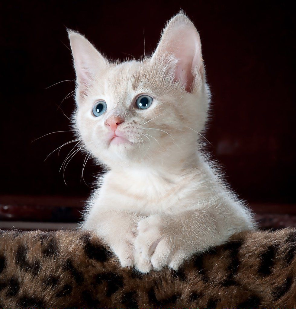 Cats Kneading Post 272388806 Why Do Cats Purr Cat Adoption Cat Hug