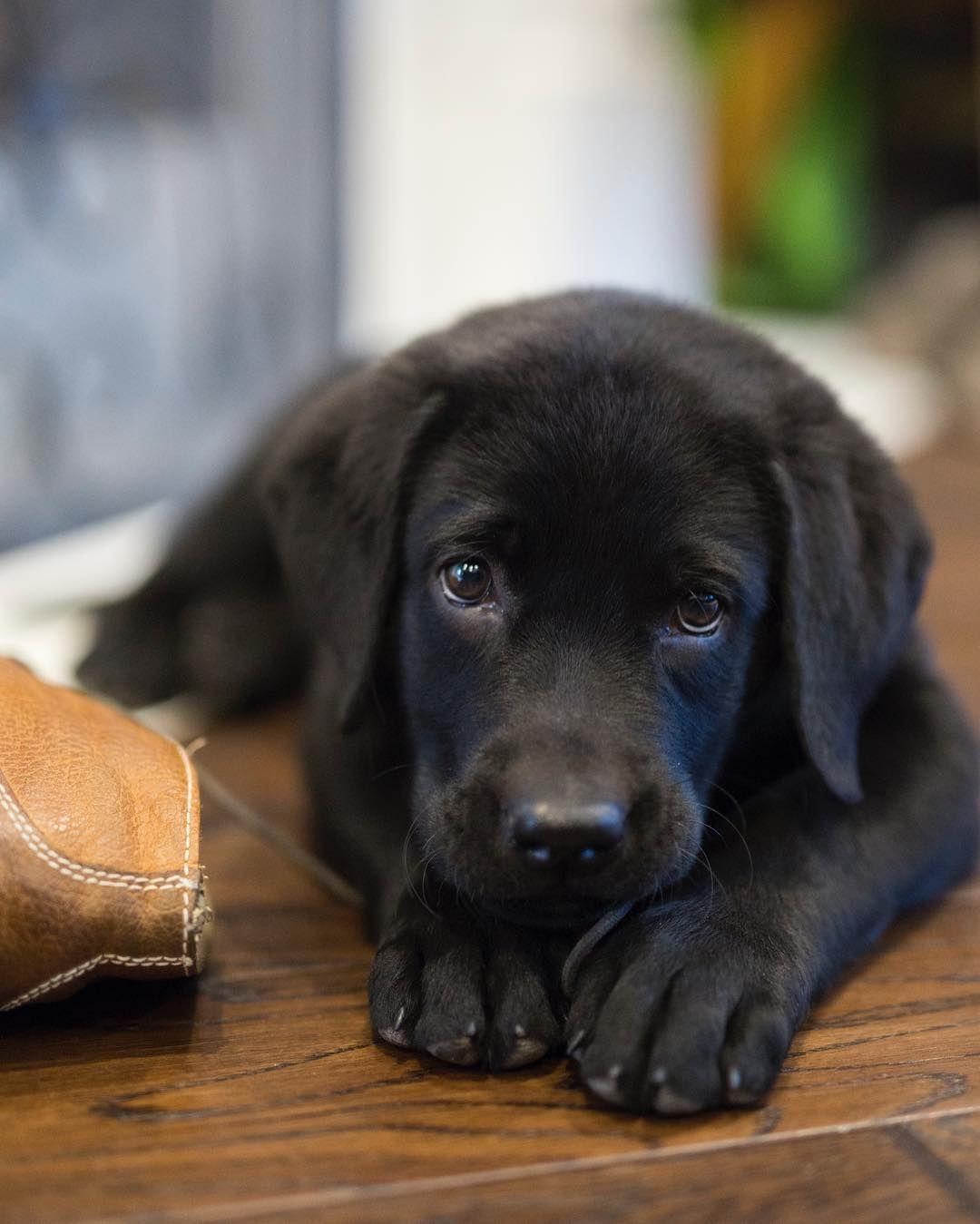 If You Love Labradors Visit Our Blog Labrador Labradorretriever Labradorcentral Retriever Labrador Cute Labrador Puppies Labrador Puppy Puppies