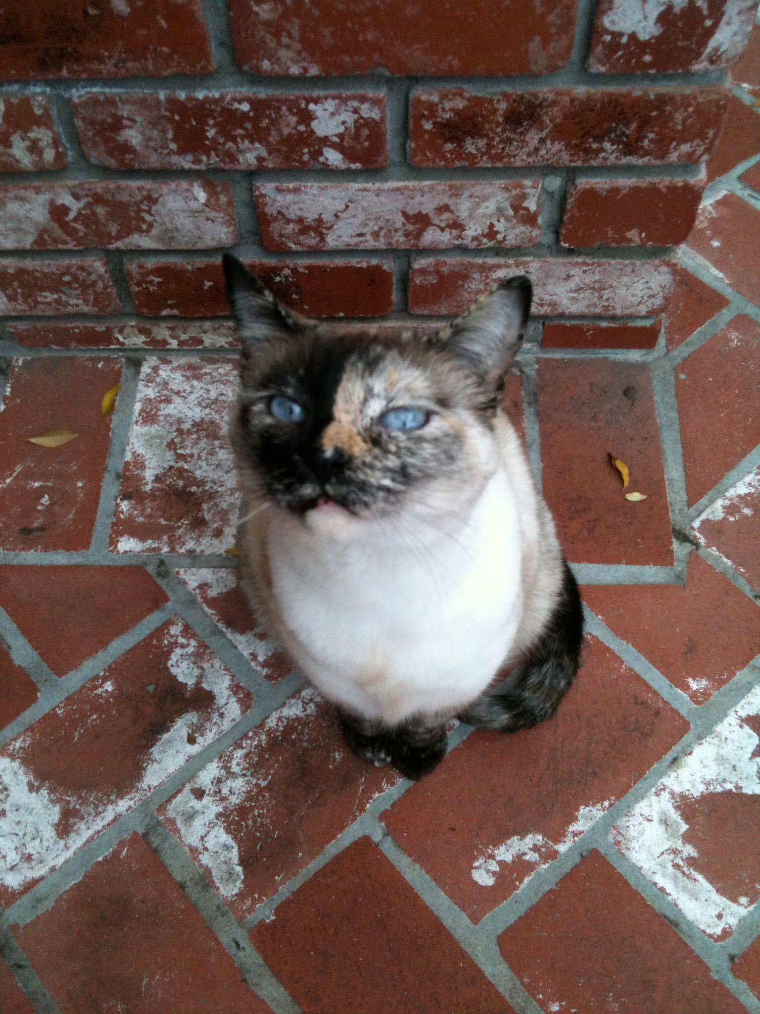 Gatos Siameses Tortie Point