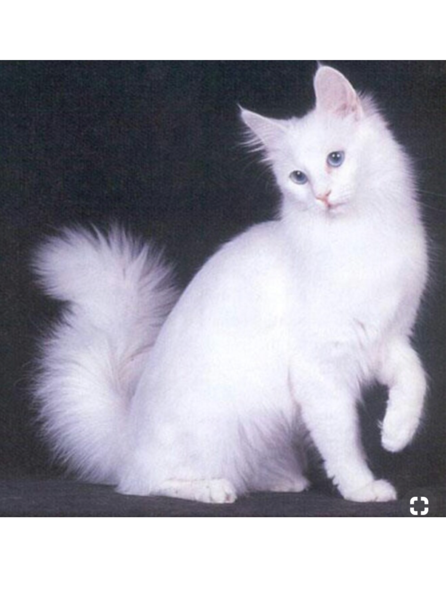 Pin By Leena Sinervo On Adorable Kittens And Cats Turkish Angora Cat Angora Cats White Cats