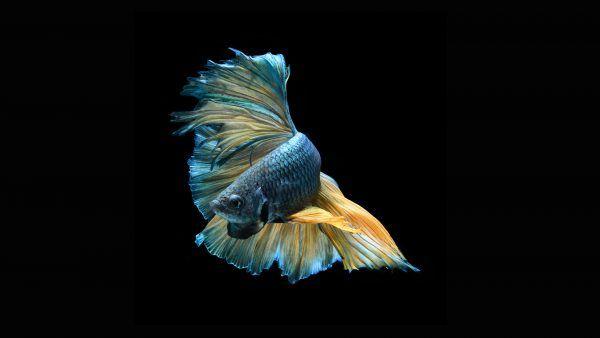 Halfmoon Betta Wallpaper 1 Of 7 Blue Halfmoon Betta Fish Facts