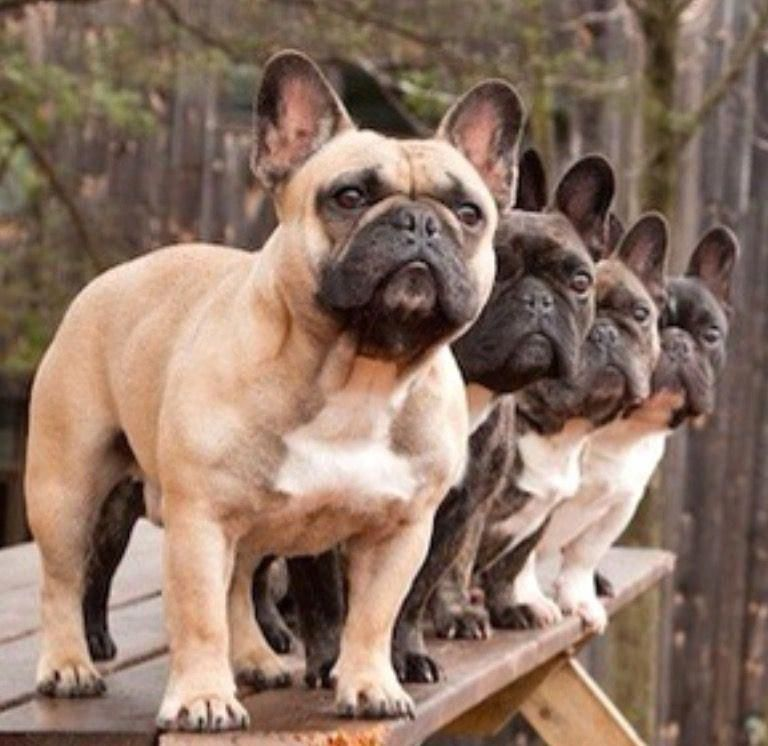 Everything About The Frenchie Puppy And Kids Frenchbulldogstagram Frenchbulldogsofinstagram Frenchbulldogfacts Bulldog Breeds Bulldog Puppies Dog Breeds