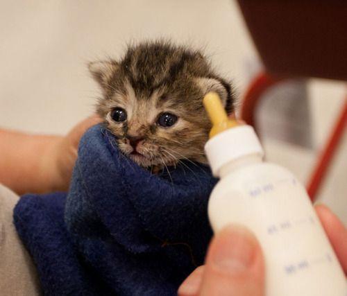 I Love Bottle Feeding Kittens Aww Feeding Kittens Cute Animals Kittens