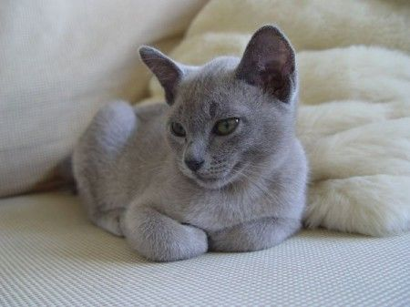 Absolutely Gorgeous Russian Blue Cat Love Russian Blue Blue