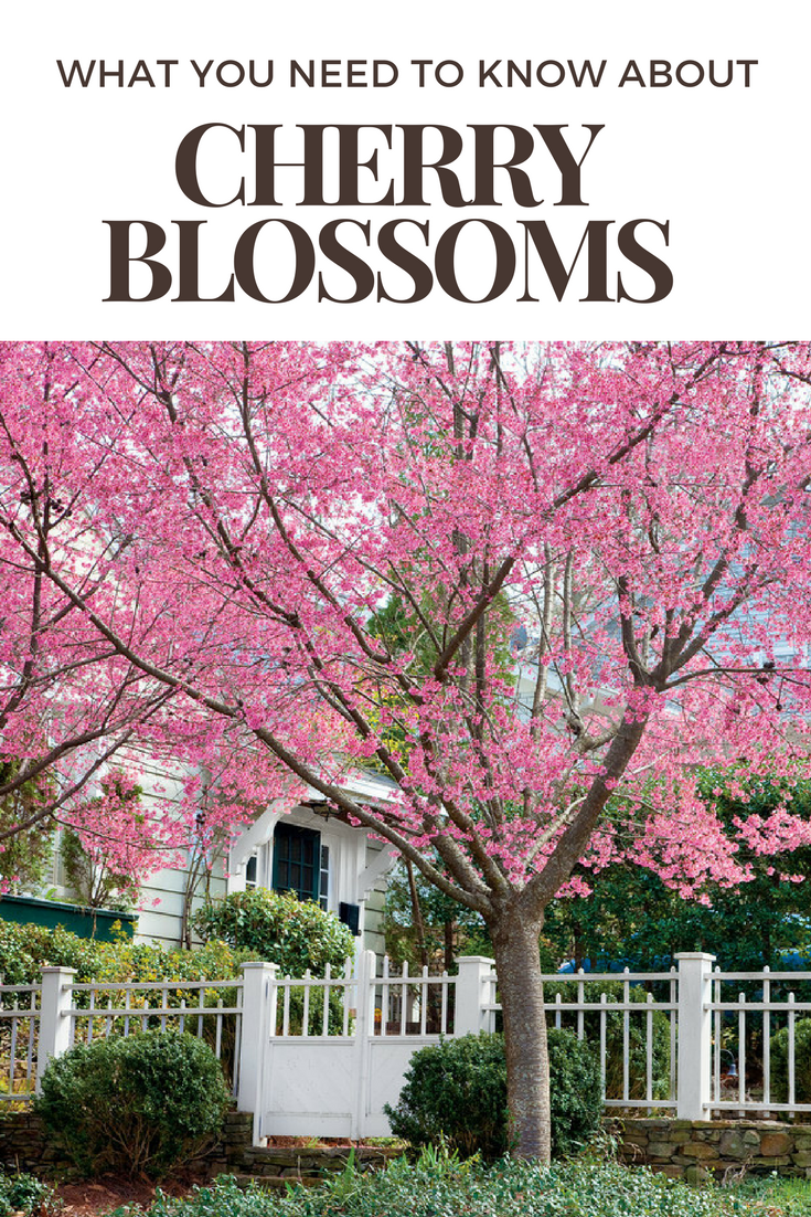 14 Things To Know About Cherry Blossoms Flowering Cherry Tree Japanese Cherry Tree Growing Cherry Trees