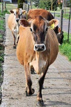 Milk: Organic vs. Not