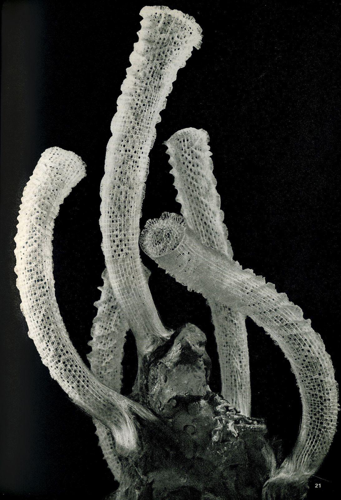 Unknown Photographer, Euplectella aspergillum (Venus's