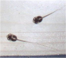 Picture of ADF tadpole from Flippersandfins.net