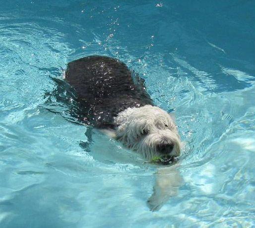 They Can Swim Too Old English Sheepdog English Sheepdog Sheepdog