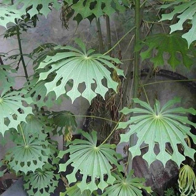 Look at these interesting leaves god got out his scissors for these globus pinterest - Interesting house plants ...