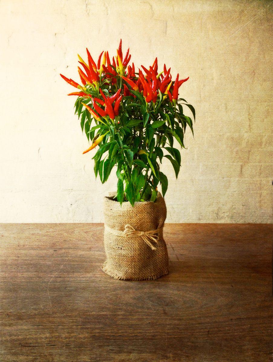 delightful chilli plant for table decoration   Chilli ...