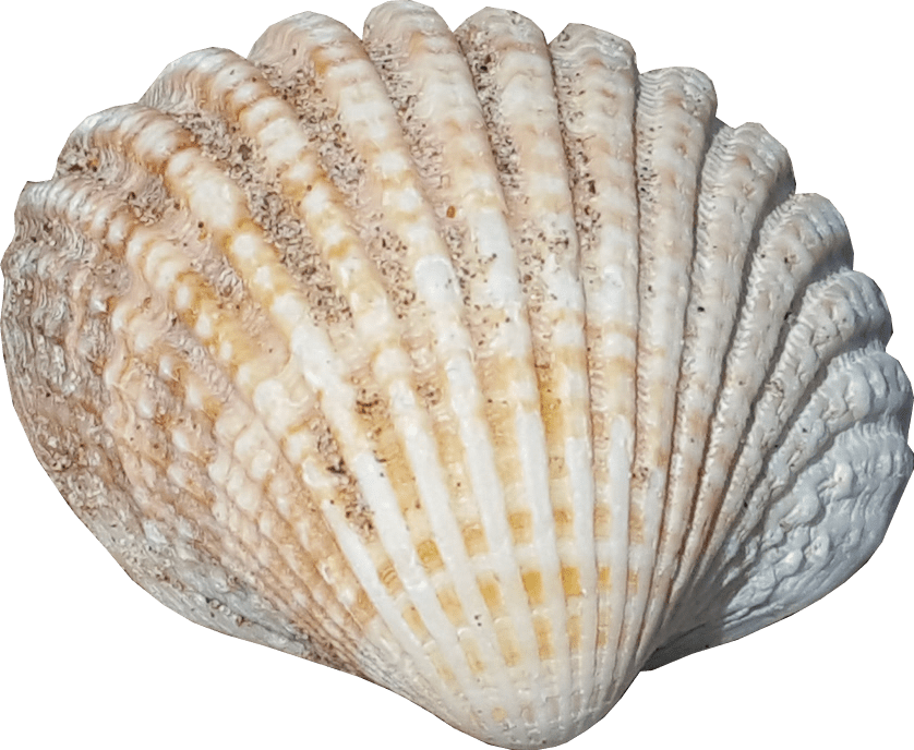 Sea Shell No Background Png Image Sealife Graphics Sea Shells Shell Graphic Shells