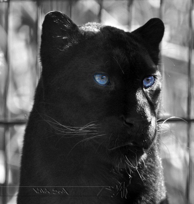 Black Panther Animal Wallpaper Fresh 46 Black Panther Blue Eyes Wallpaper On Wallpapersafari Black Jaguar Panther Puma Animal Black Black jaguar eyes wallpaper