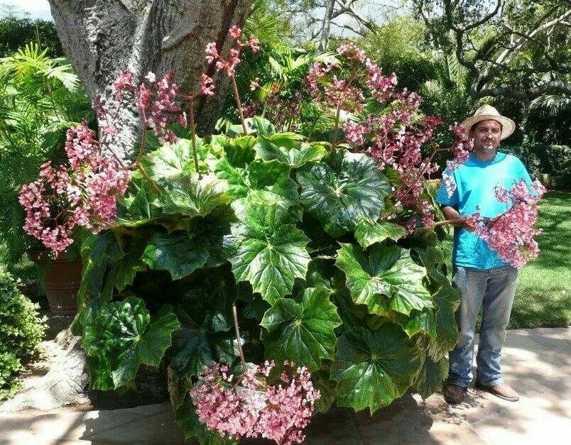 Mammoth Giant Begonia Begonia Planting Flowers Beautiful Gardens