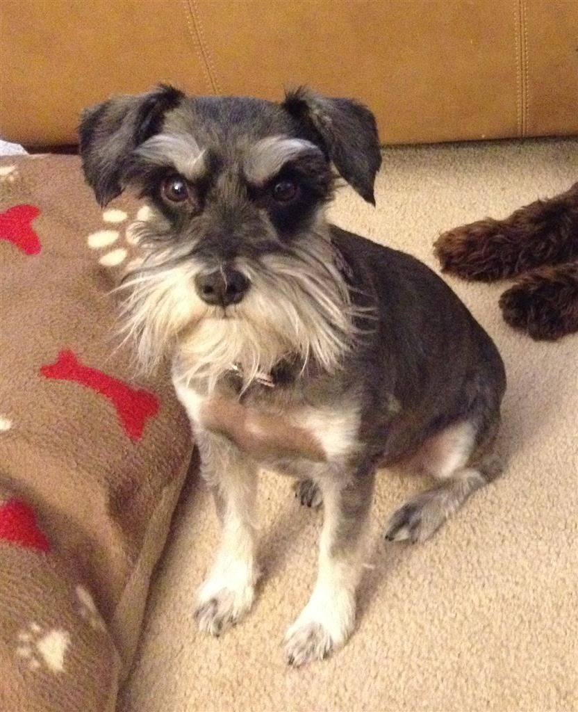 Lost Dog Schnauzer Miniature Gilbert Az United States 85296 Losing A Dog Dogs Losing A Pet