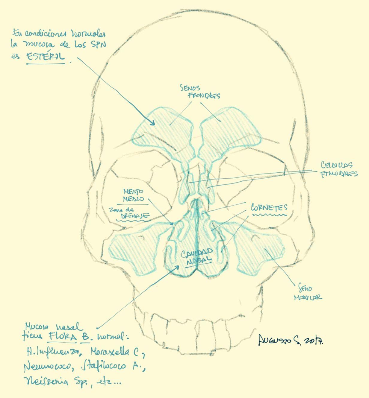 Anatomía de los senos paranasales. Fuente: lachuletadeosler.com ...