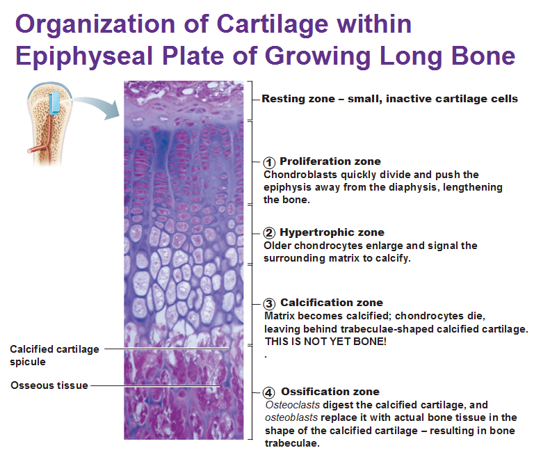 organization of cartilage within epiphyseal plate of growing long ...