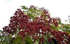 Bienenbaum (Pflanze) #kleinekräutergärten