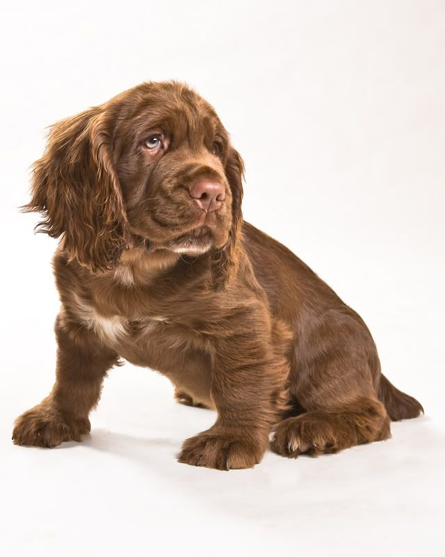 Sussex Spaniel Puppy Time Sussex Spaniel Spaniel Puppies