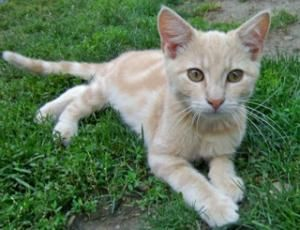 I Want Casper So Bad Casper Is An Adoptable Domestic Short Hair Orange And White Cat In Blue Earth Mn Caspe Orange And White Cat Orange Cats Crazy Cats