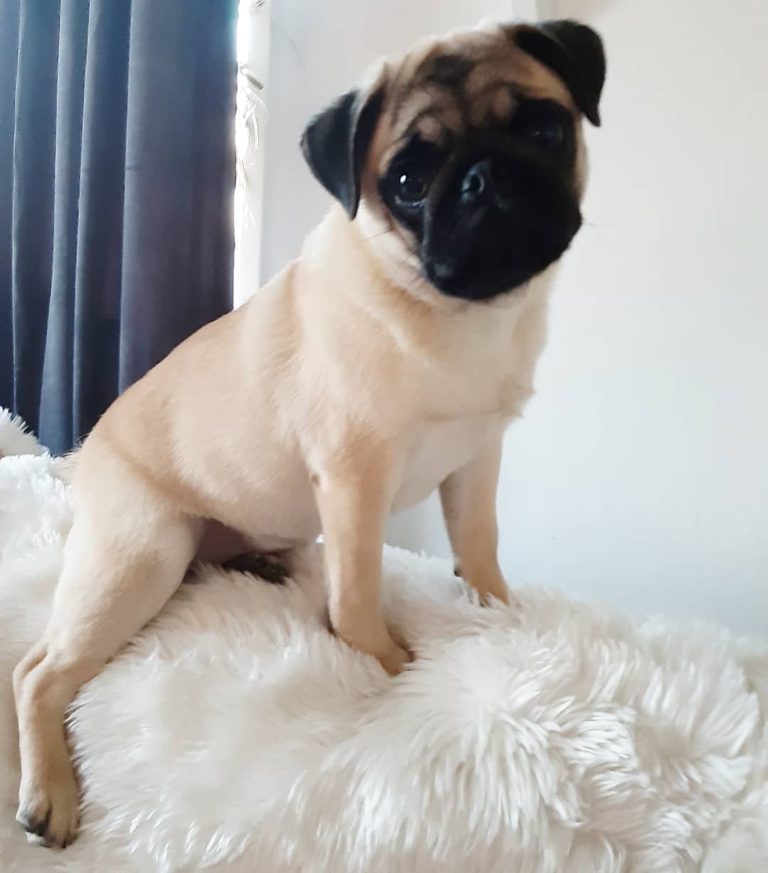 Adorable Pug Dog Pugs Cute Pugs