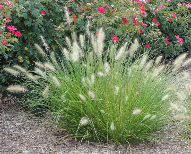 Little Bunny Dwarf Fountain Grass Pennisetum Alopecuroides Qty 8