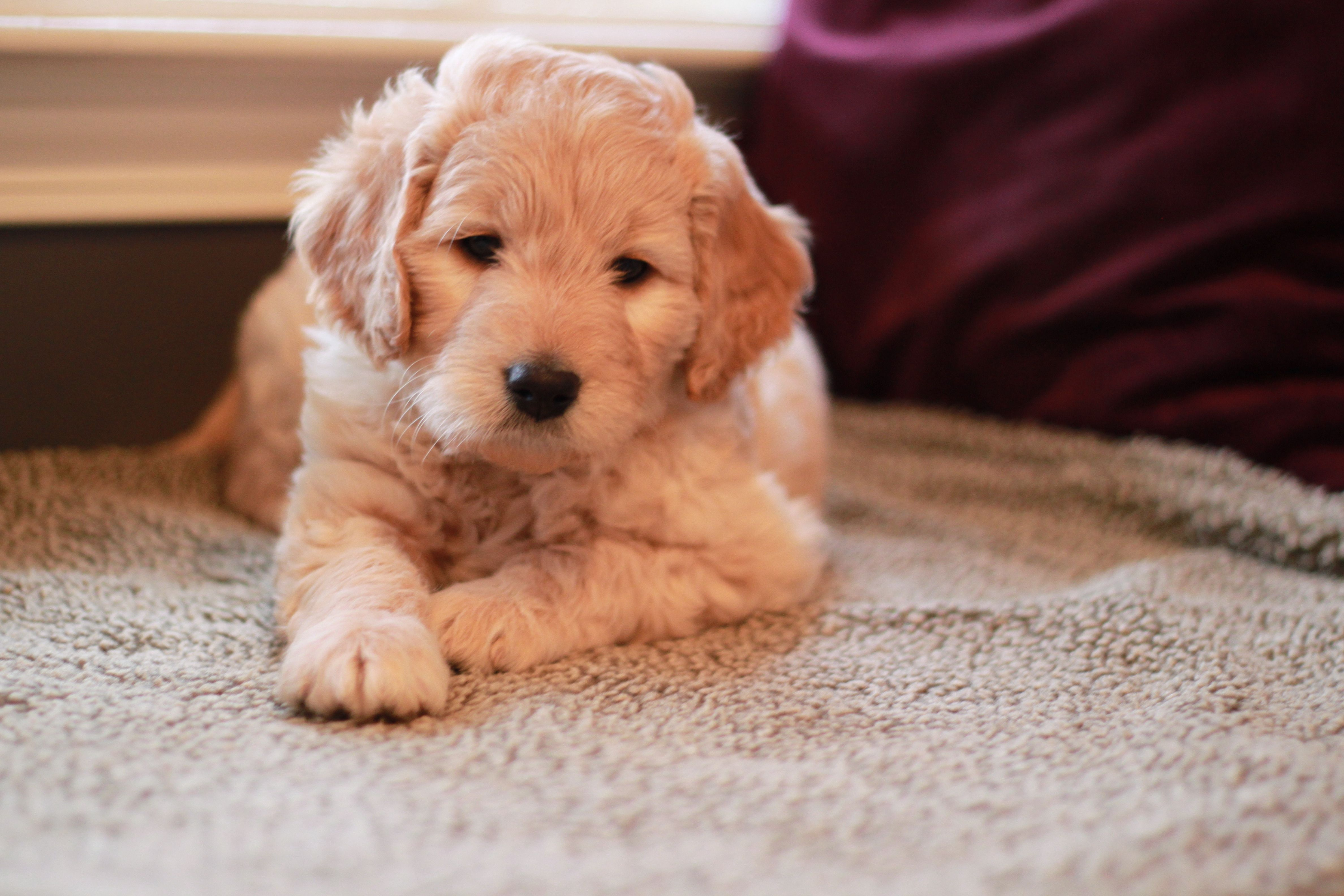 2 Month Old Goldendoodle From River Valley Doodles Einstein